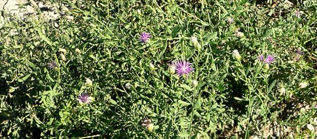 Горчак ползучий, или горчак розовый, злостный трудноискоренимый сорняк.