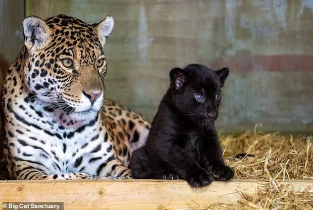 Черная шерстка, голубые глаза: уникальной ягуарке выбирают имя