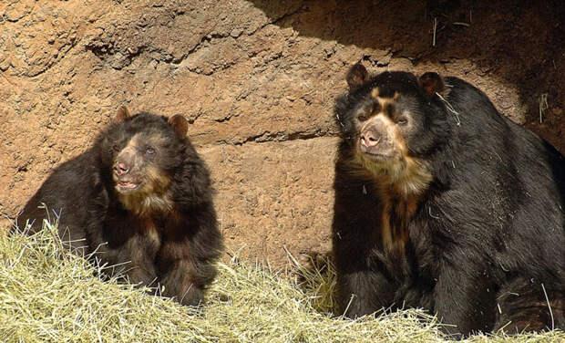 Животные Южной Америки: очковый медведь