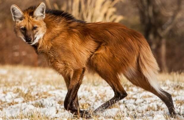 Гривистый волк