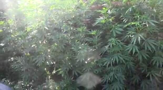 Уральские полицейские обнаружили 37 кустов конопли во дворе частного дома