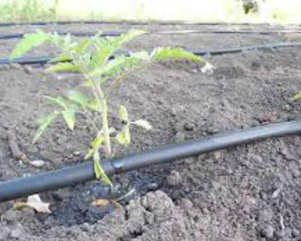 Как поливать помидоры в теплице из поликарбоната — нормы и режим полива