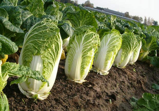 Как вырастить пекинскую капусту в тюмени