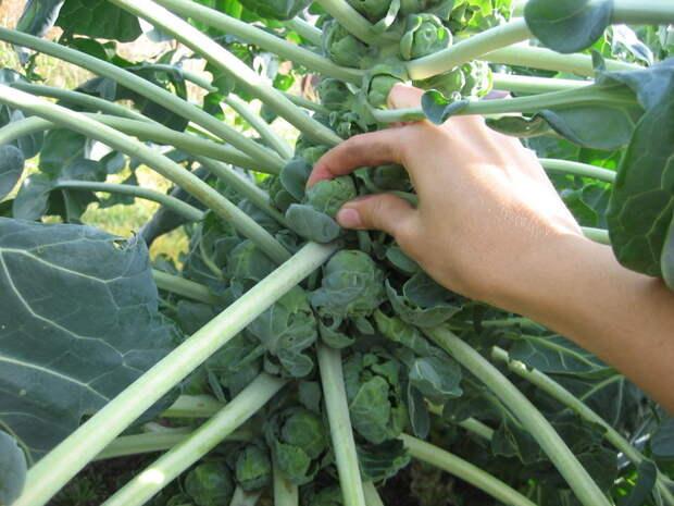 Выращиваем необычные сорта капусты