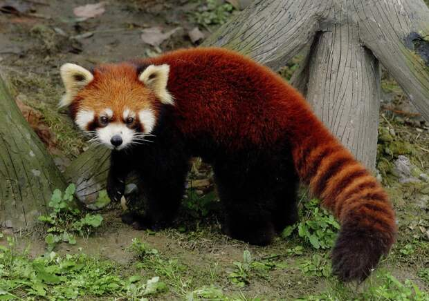 Малая Панда - 59 фото
