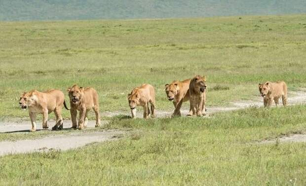 Львы растерзали браконьеров, которые проникли в заповедник для охоты на носорогов