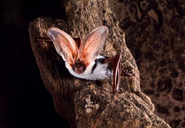 Пятнистый ушан: Уши в треть тела. Одна из немногих летучих мышей, которую человек способен услышать