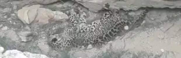 В Департаменте полиции прокомментировали видео с мертвым леопардом в Мангистау