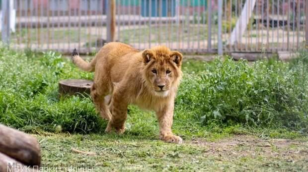 Львиное семейство появилось в зооуголке Симферополя