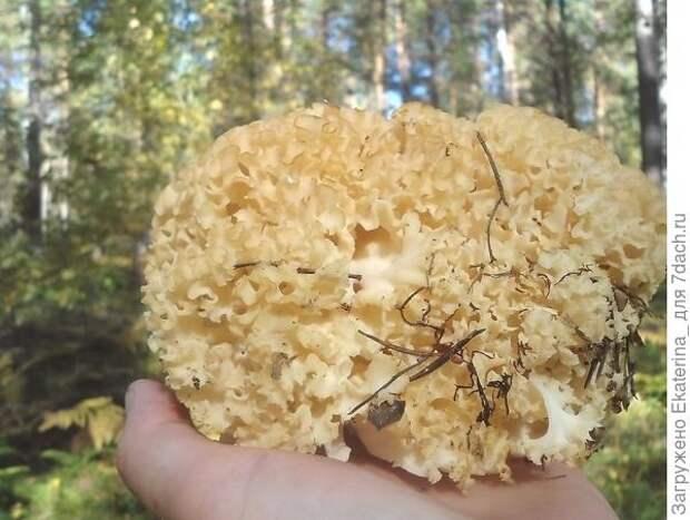 Вот оно моё грибное счастье, не зря заглядывала под каждую сосну