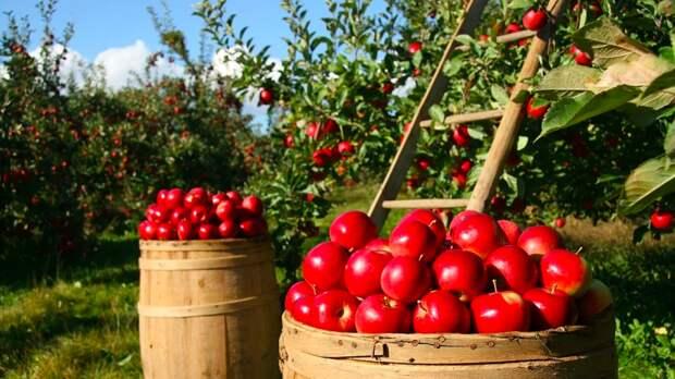 Польские фермеры с горечью отметили рост числа яблоневых садов в России