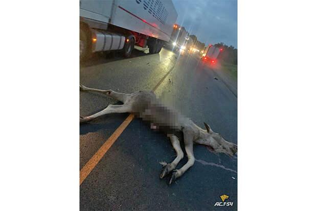 Восьмой лось погиб на дорогах Новосибирской области