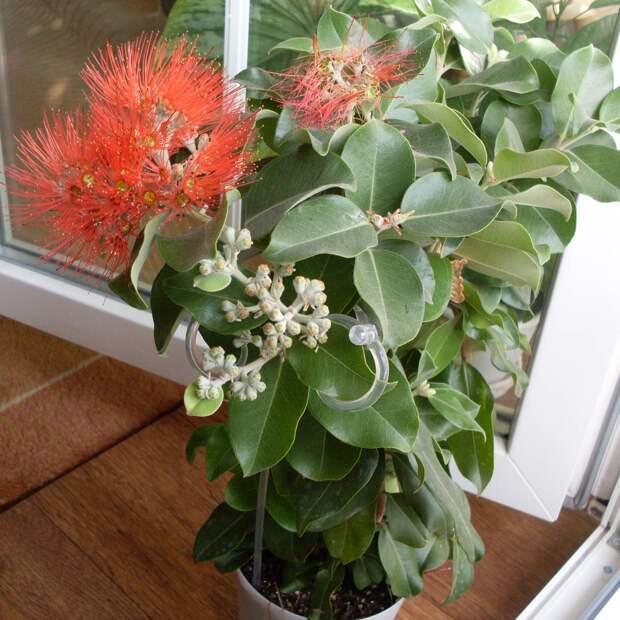 Комнатное растение Метросидерос (Metrosideros)