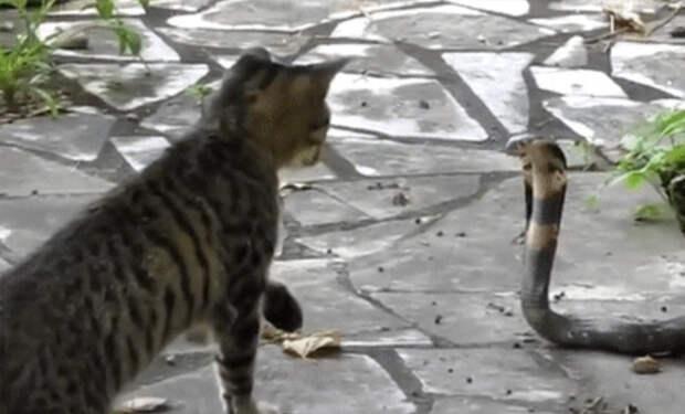 Кобра приползла поживиться в деревню и встретила сторожевого кота