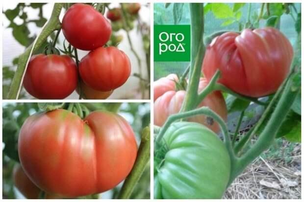 высокорослые томаты Дженкинс Грик