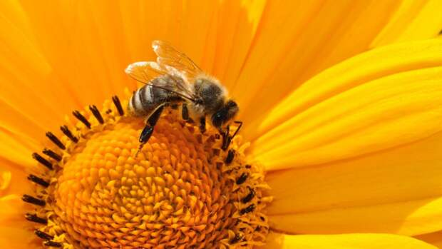Нидерландские исследователи научили пчел диагностировать коронавирус