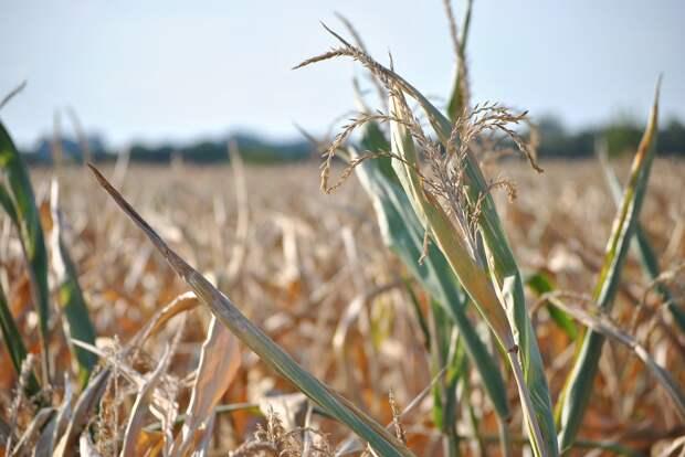 Аграрии Удмуртии из-за засухи могут выйти на уборку урожая на две недели раньше