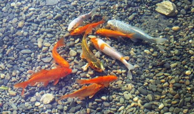 Рыбки вернулись в пруд на Центральной набережной