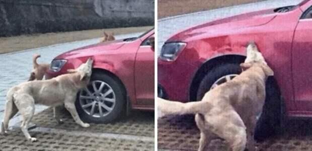 Водитель сбил бродячую собаку. Она вернулась со своими приятелями и немного попортила ему автомобиль