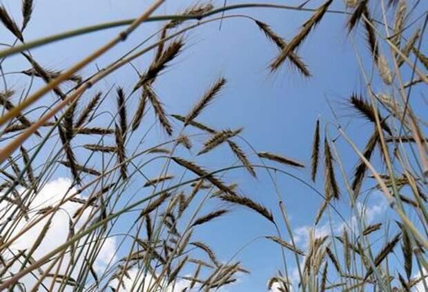 A view shows ears of wheat in a field outside the Siberian city of Krasnoyarsk, Russia July 29, 2019. REUTERS/Ilya Naymushin
