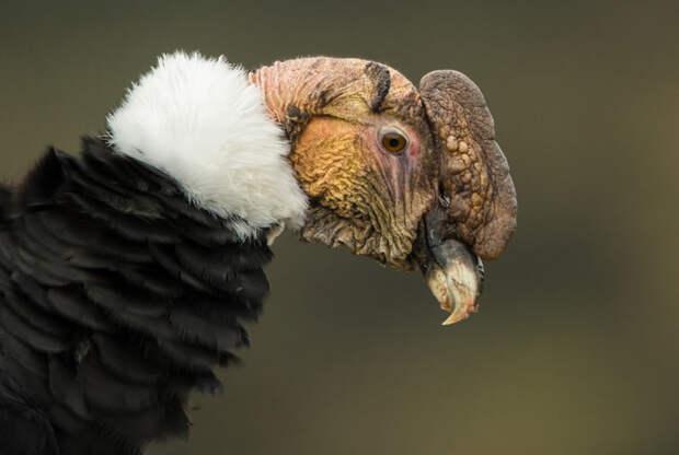 Животные Южной Америки: андский кондор