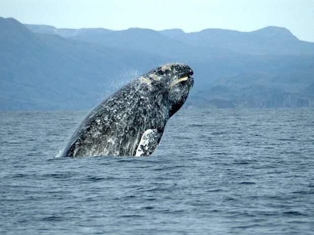 Серый кит добрался до Намибии от берегов Сахалина