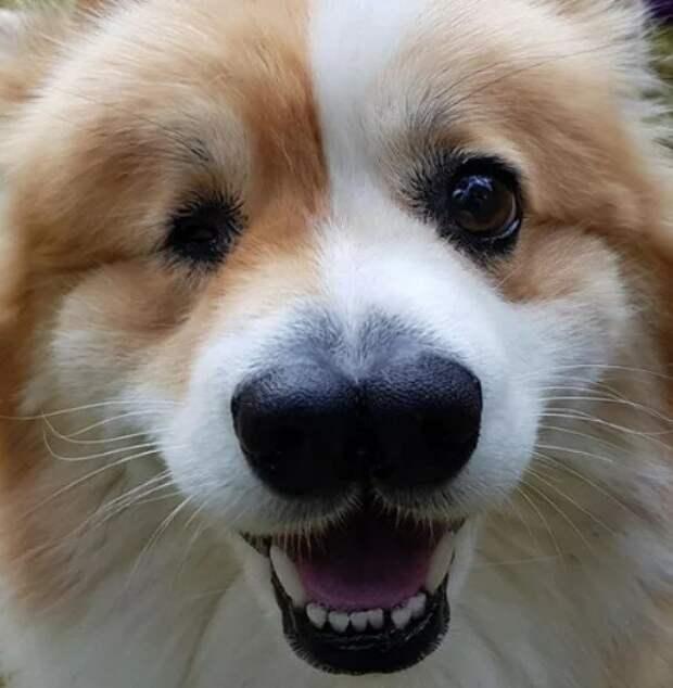 Ветеринар не согласился усыпить корги с двумя носами