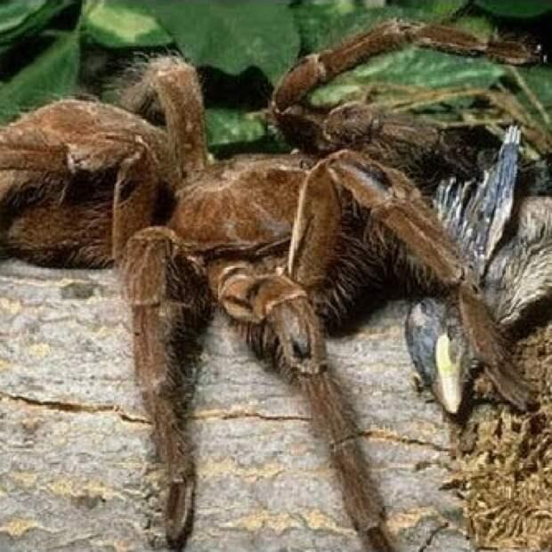 Огромный паук впервые поймал и съел опоссума на глазах ученых