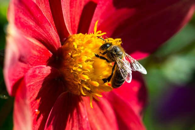 Пчелы. Чудо Корана