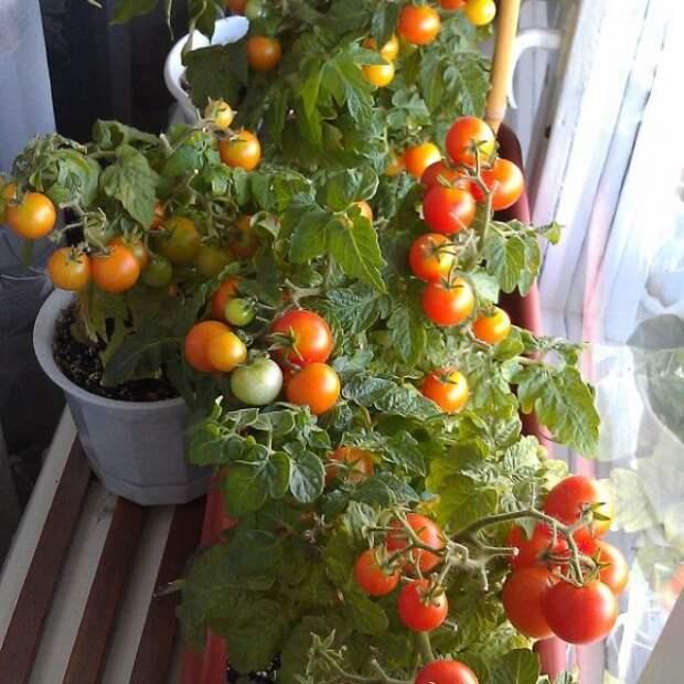 Огород на окошке: миниатюрные овощи