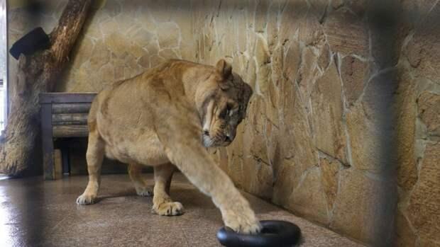 Ленинградский зоопарк показал, как играют с большими кошками