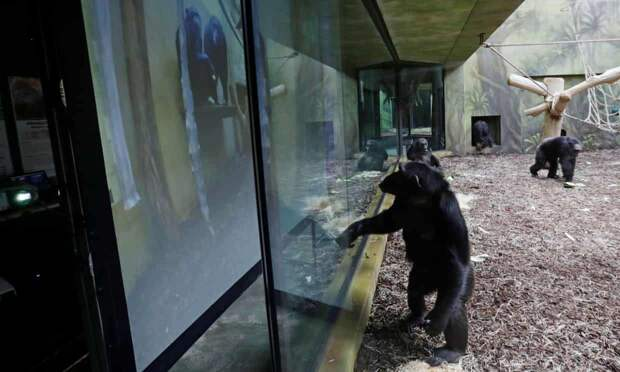 Чешский зоопарк устроил своим обезьянам конференции по Zoom