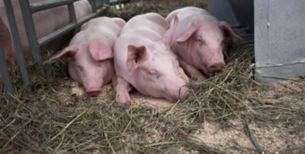 Два Из-за двух очагов африканской чумы свиней в Калужской области ввели карантин
