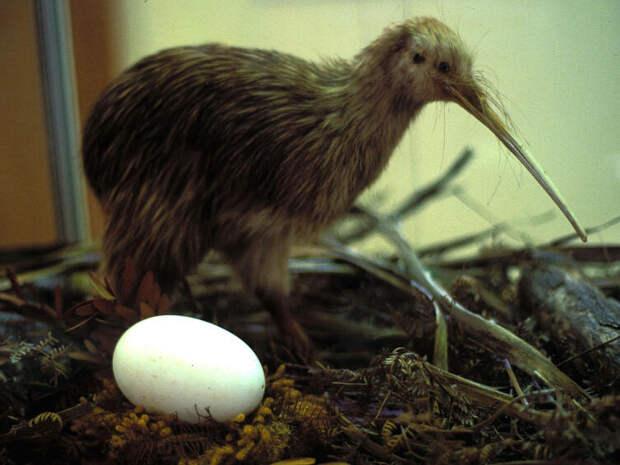 Киви с яйцом. Музей каури