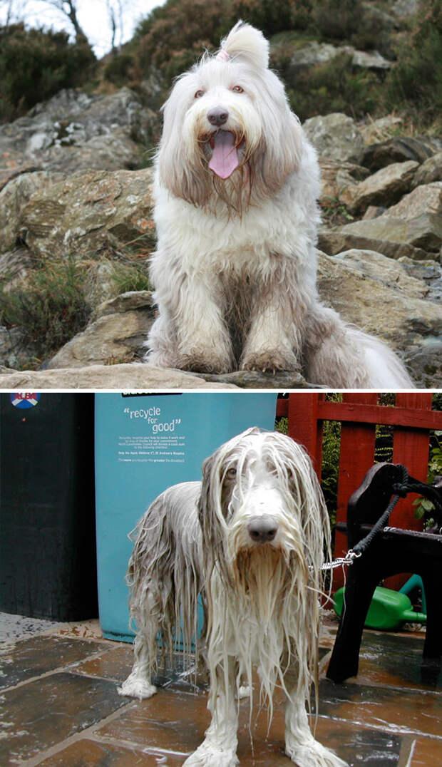 15 смешных фото собак до и после купания