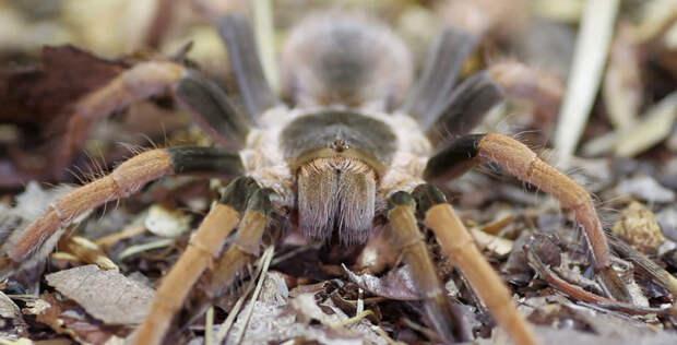 Животные Южной Америки: megaphobema robustum