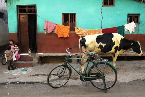 Священное животное: плюсы, минусы и подводные камни неприкосновенности коров в Индии индия, коровы, священные животные, улица, эстетика