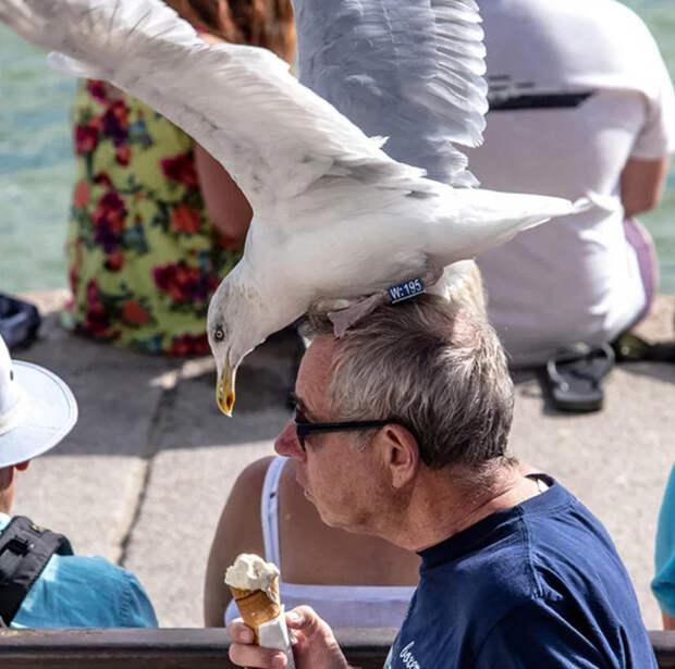 Да мне чайки на грудь... Юмор, Чайки, Мороженое, Еда, Нахальство, Внезапно, Фастфуд, Длиннопост