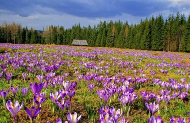 Крокус сативус любит возвышенности и солнечные лучи / Фото: namonitore.ru