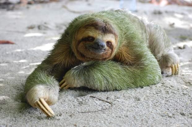Животное двупалый и трехпалый ленивец: описание жизни ленивцев, прикольные  фото и видео. - webmandry.com