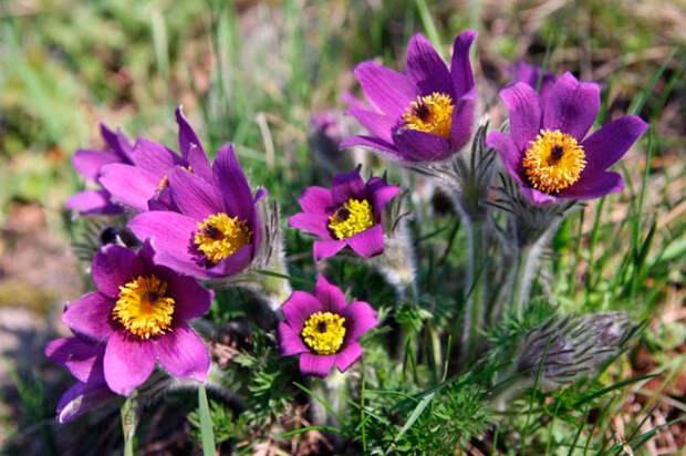 Многолетний садовый цветок Прострел (Pulsatilla)