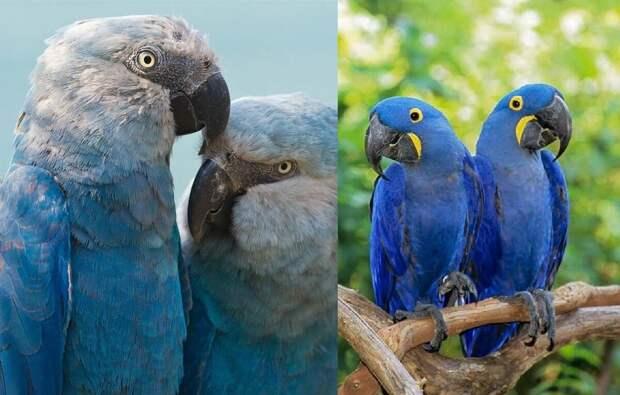 Слева Голубой ара, а справа Гиацинтовый ара. Как видите, это совершенно разные виды