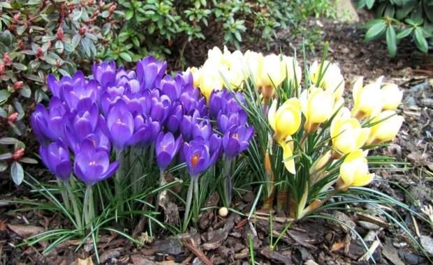 В нашей стране крокусы чаще высаживают с декоративной целью на клумбах и цветниках / Фото: wallhere.com