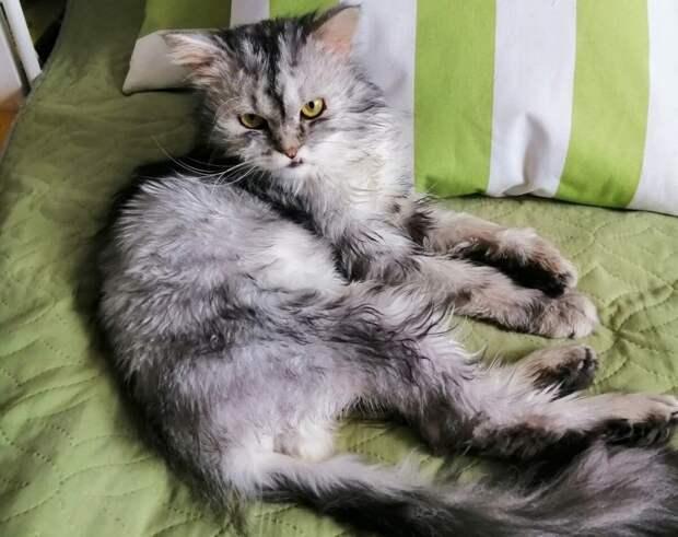 Несчастный кот с явными признаками породы жил в подъезде, пока его не забрали в добрые руки