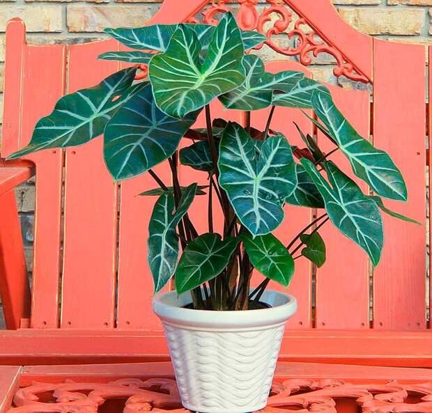 Комнатное растение Алоказия (Alocasia)