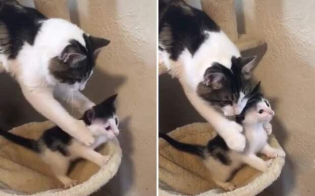«Стой, малыш»: мама-кошка остановила любопытного котенка и растрогала Сеть