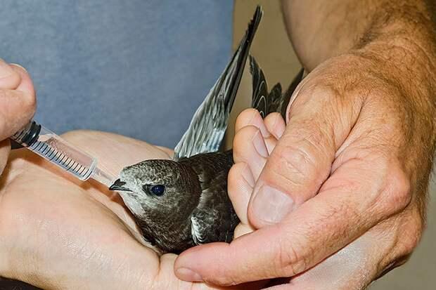 Подкормить упавшего стрижа можно (но не увлекайтесь, если птица не истощена) прокипяченным нежирным творогом смешанным с дафнией.
