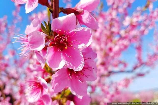 Цветущие персиковые сады в крыму в фотографиях!