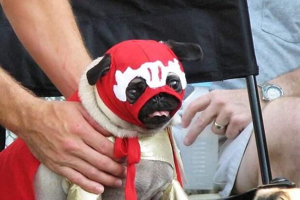 Веселые мопсы— мастера маскировки