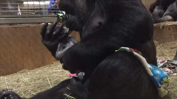 Горилла никак не может остановиться и постоянно целует своего новорожденного малыша